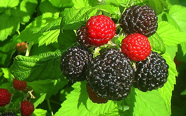What is a Black Raspberry?